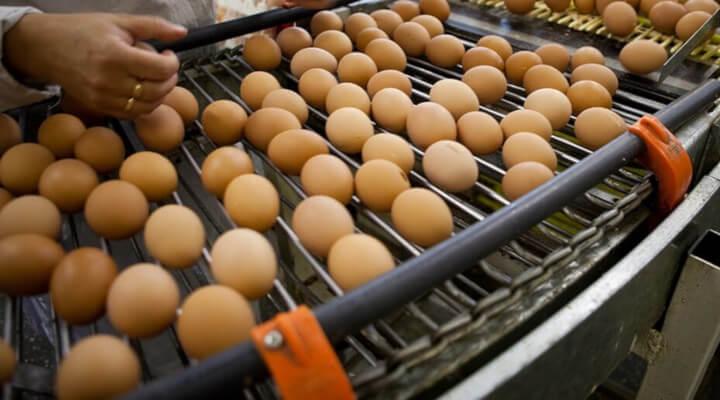 Profissionalize-se como avicultor de galinhas poedeiras e aumente a sua participação no mercado